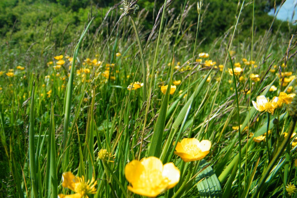 buttercups in grass