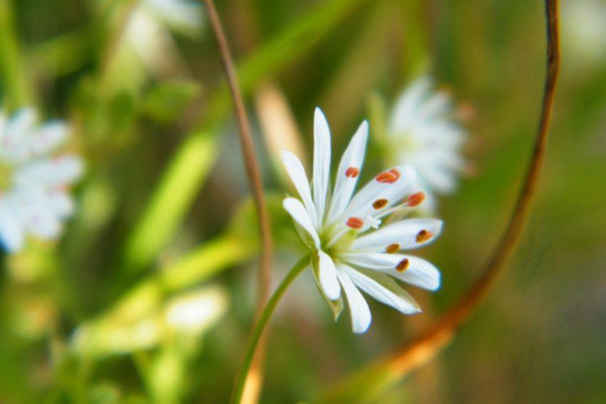 Stellaria holostea, greater stitchwort
