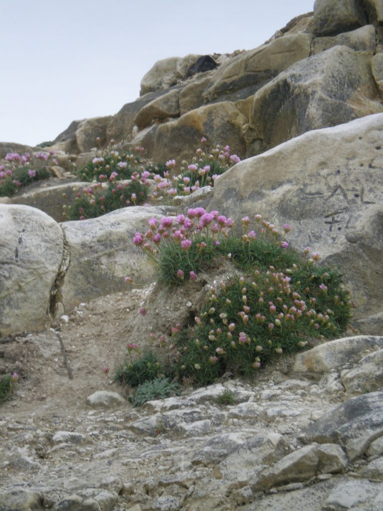 cliffs armeria maritima thrift sea pink