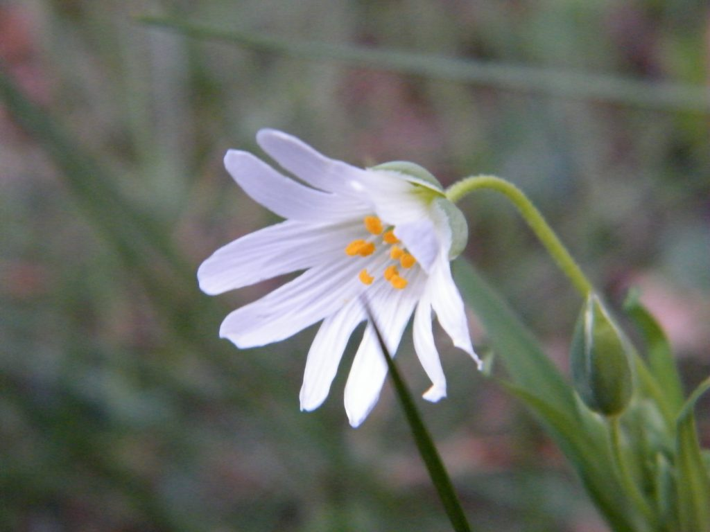 ashburnham wildflowers stitchwort