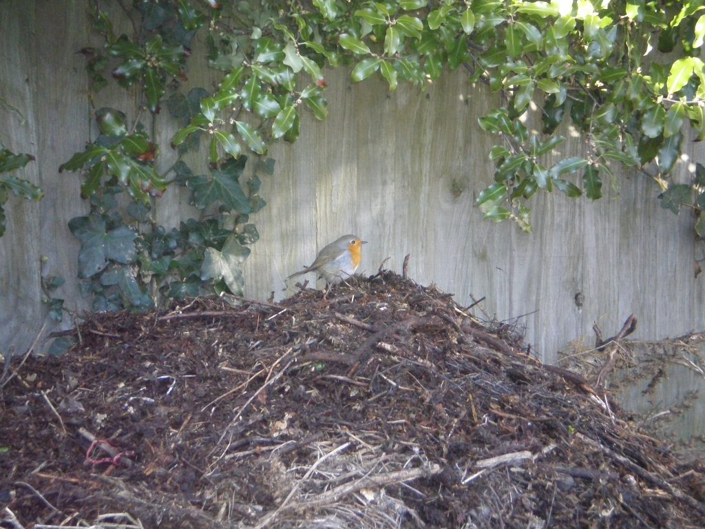 robin compost heap