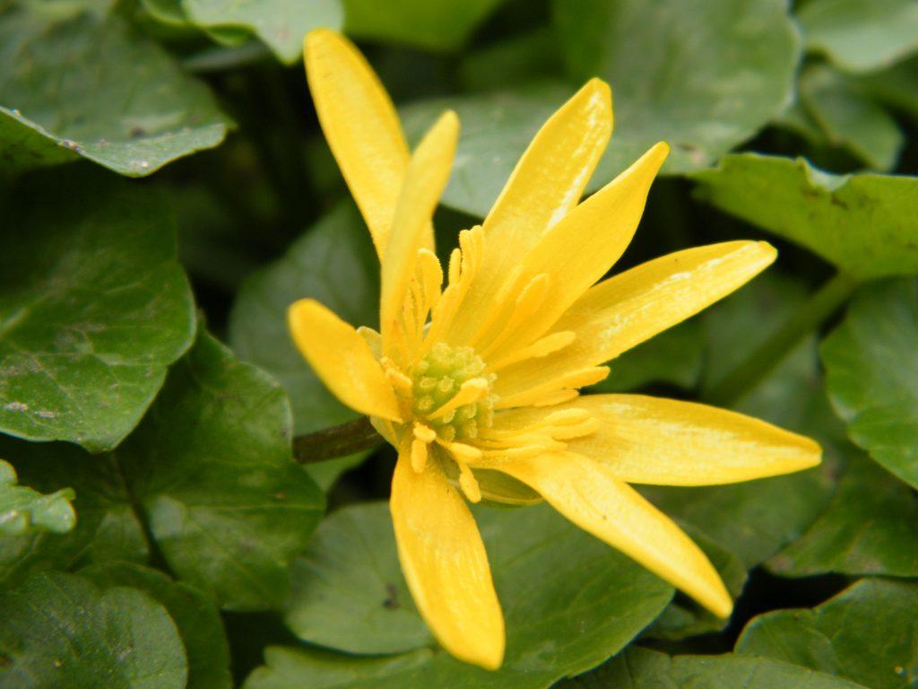 celandine wildflower