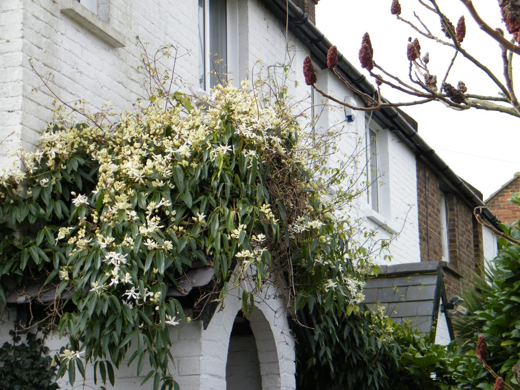 clematis armandii around front door