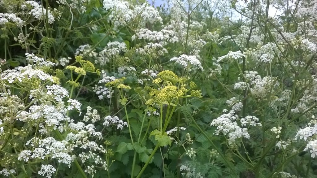cow parsley anthriscus sylvestris alfriston alexanders