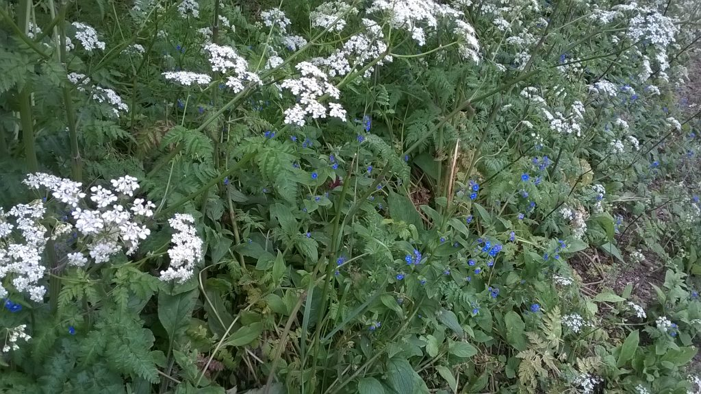cow parsley anthriscus sylvestris seaford alkanet