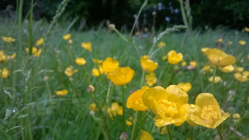 rainy buttercups seaford