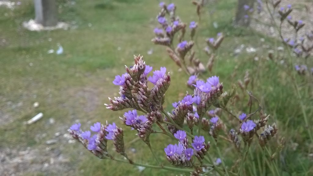 limonium wildflower