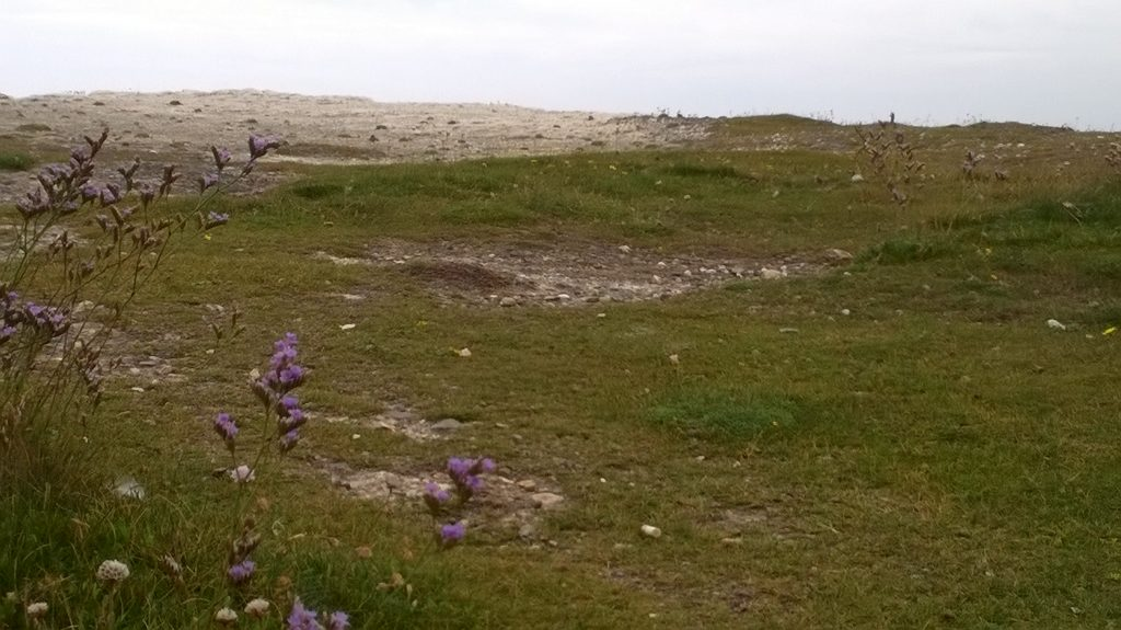 sea lavender chalk cliff