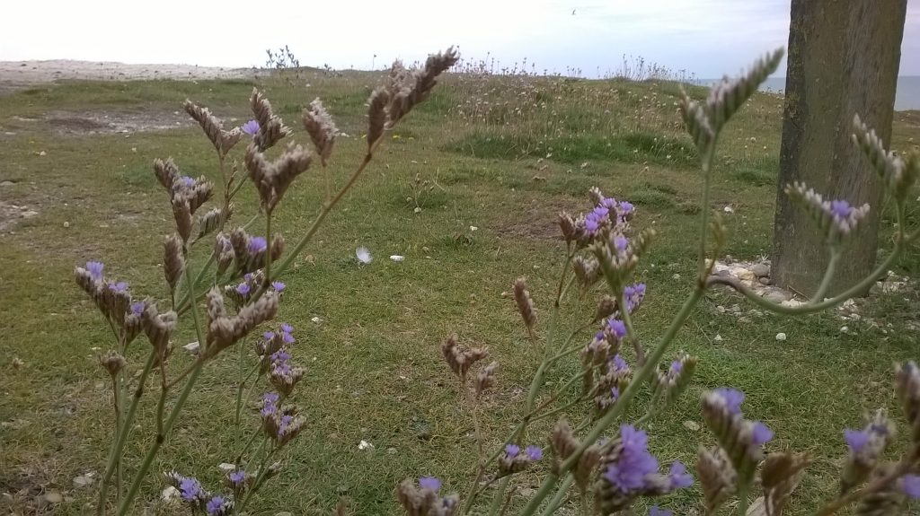sea lavender seaford head