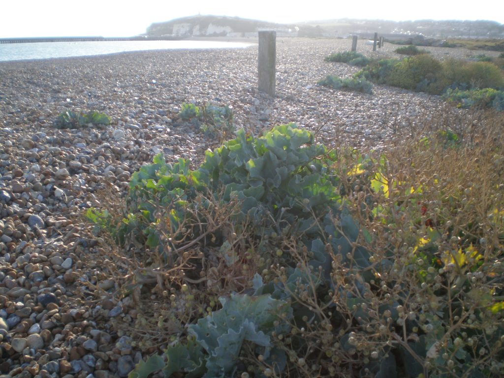 newhaven sea kale
