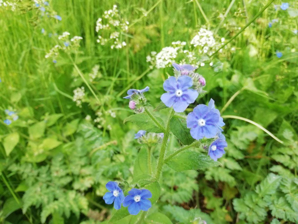 blue wildflowers alkanet seaford
