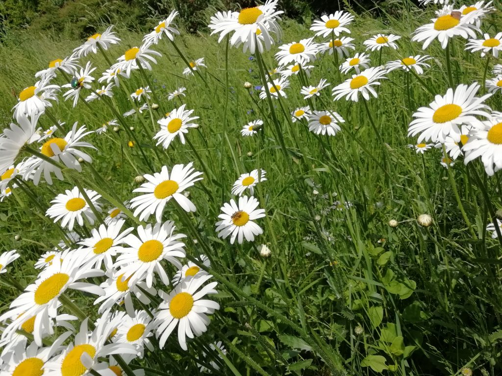 white wildflowers oxeye daisy seaford