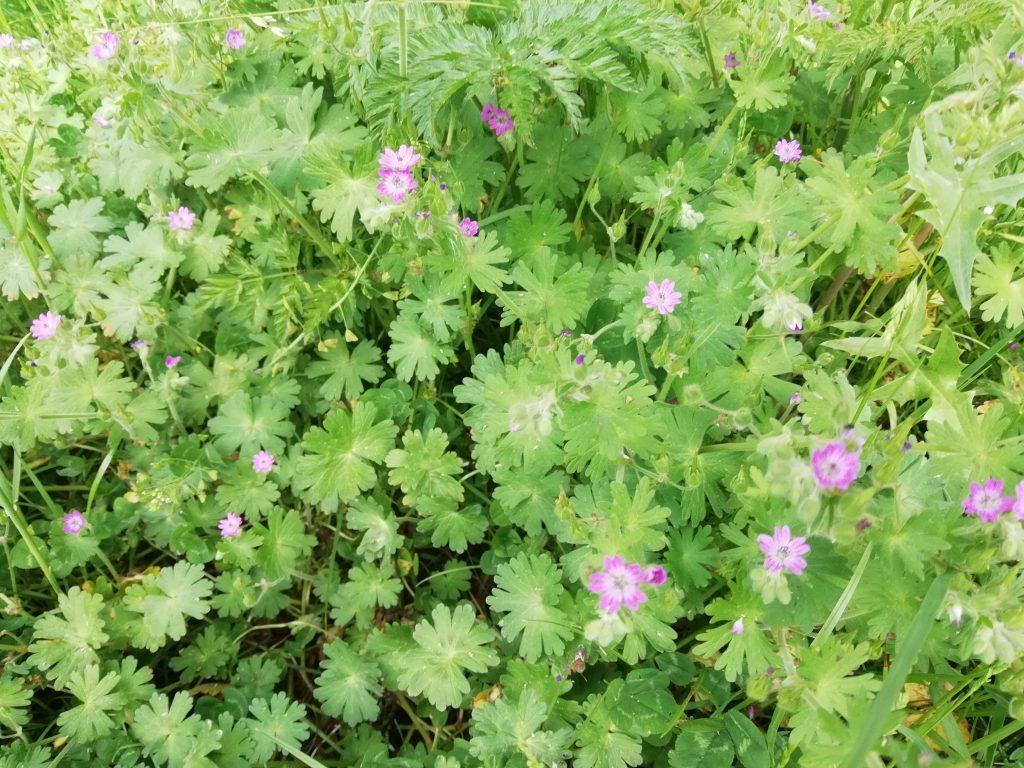 pink wildflower geranium molle seaford