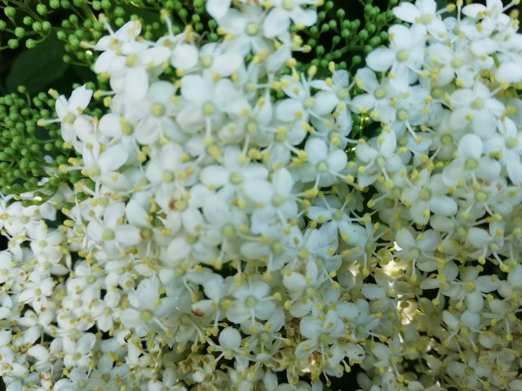 white wildflowers elderflower seaford