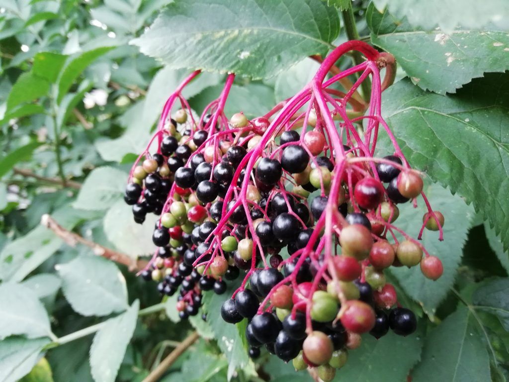 wild fruit elderberries seaford