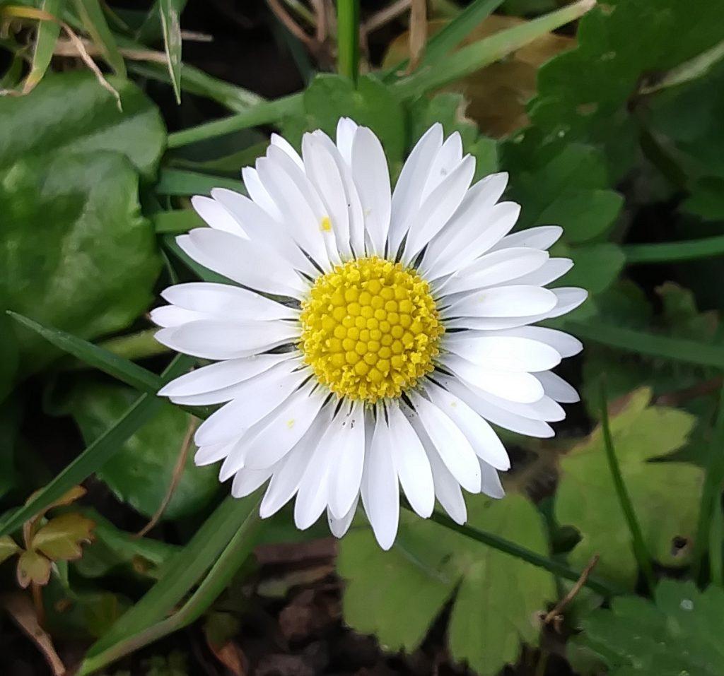 white wildflower daisy seaford