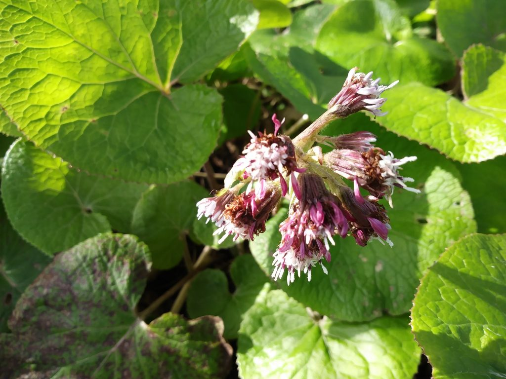 purple wildflowers heliotrope seaford