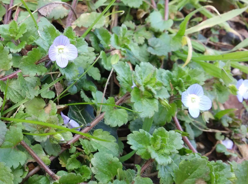 blue wildflower speedwell seaford