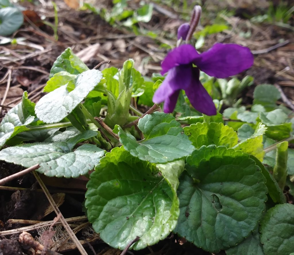 purple wildflowers violet seaford