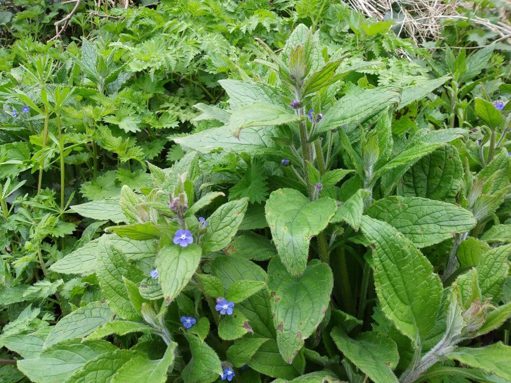 blue wildflower alkanet seaford