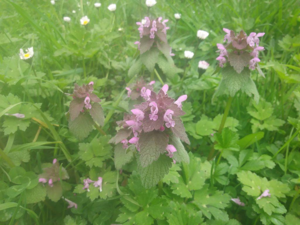 pink wildflower dead nettle lamium seaford