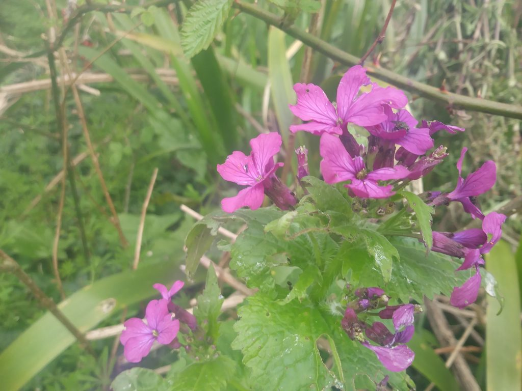 purple wildflower honesty seaford