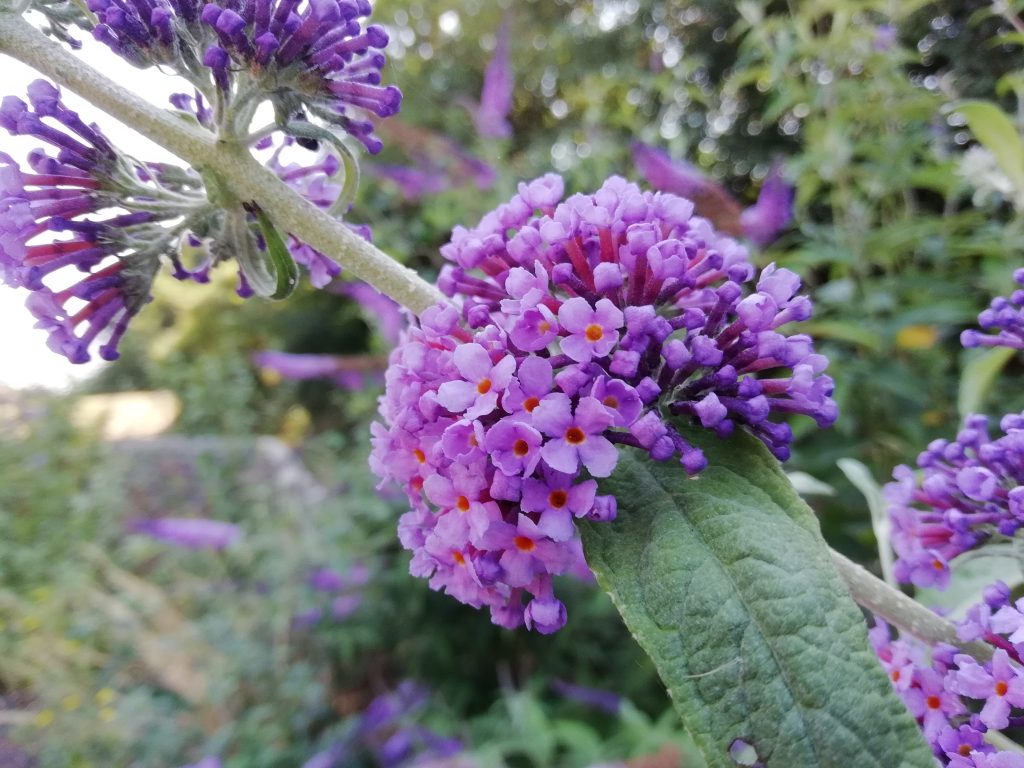 purple wildflowers buddleia seaford