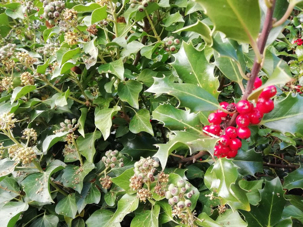 holly berries ivy berries seaford