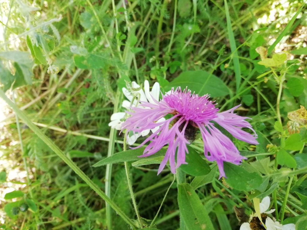 greater knapweed wildflower meadow canterbury