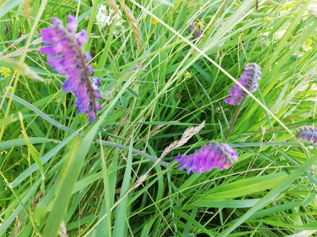 purple vetch canterbury