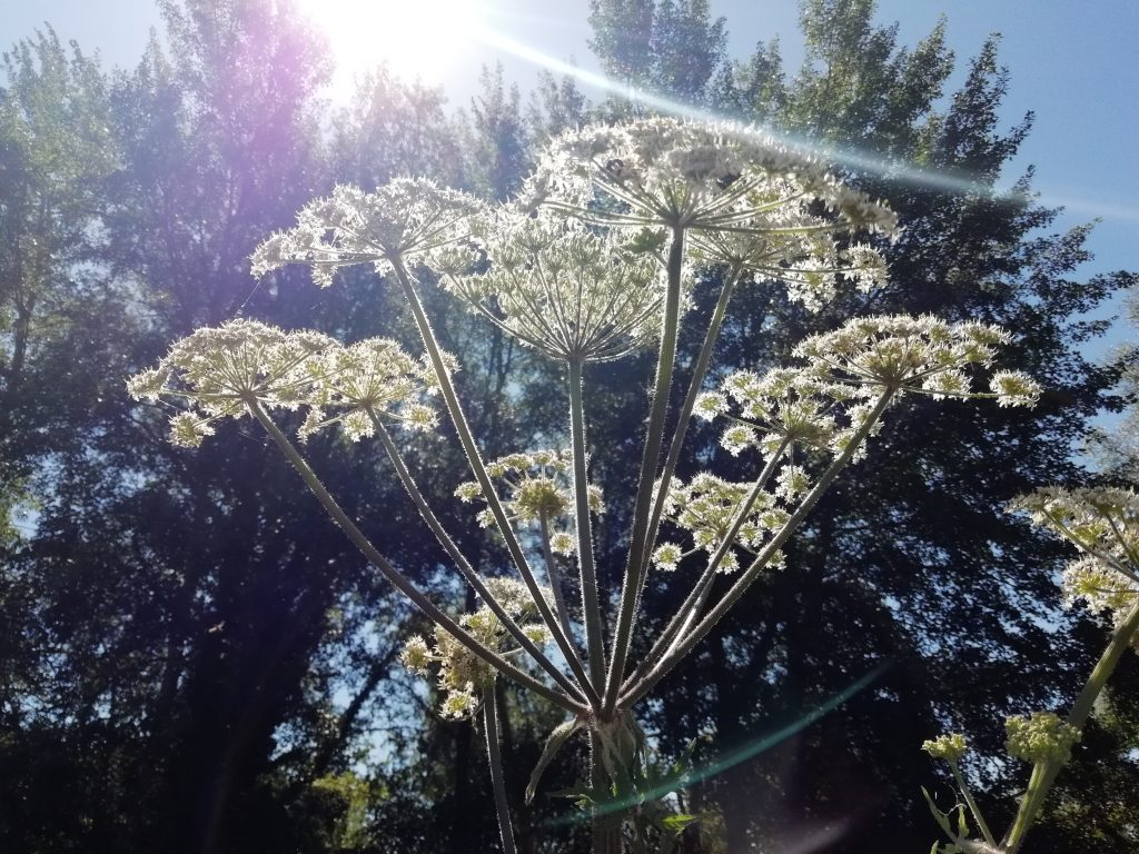 giant hogweed white inflorescence
