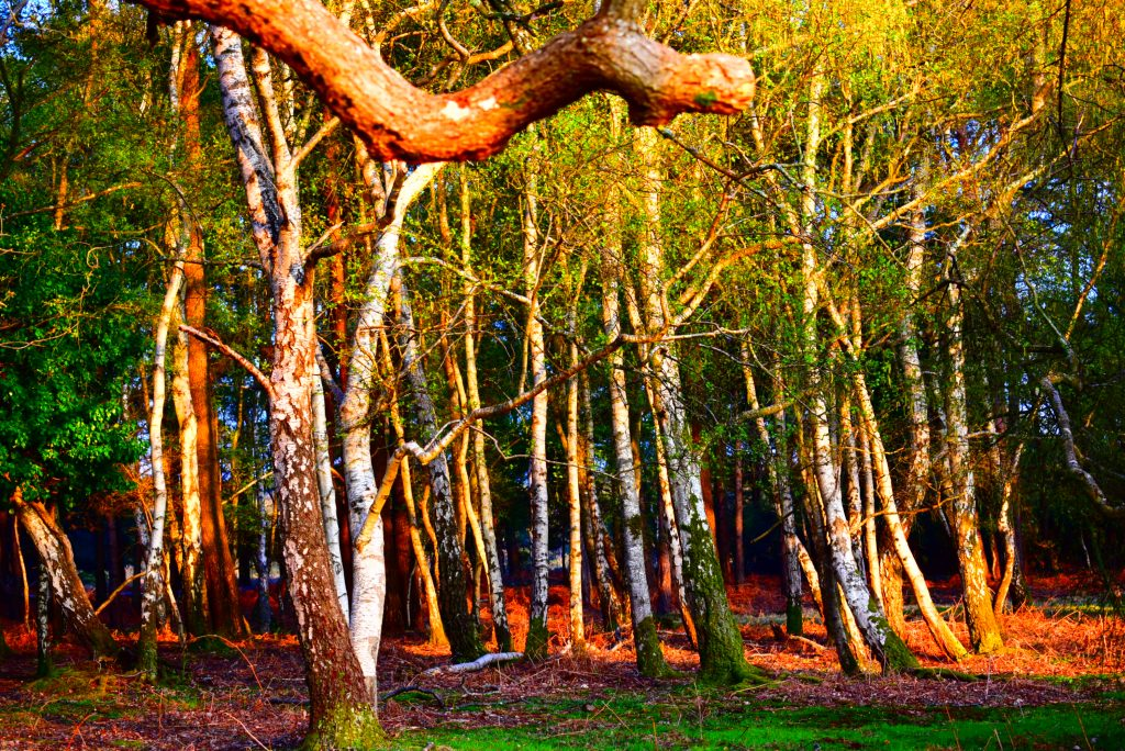 trees in Roydon Woods nature reserve