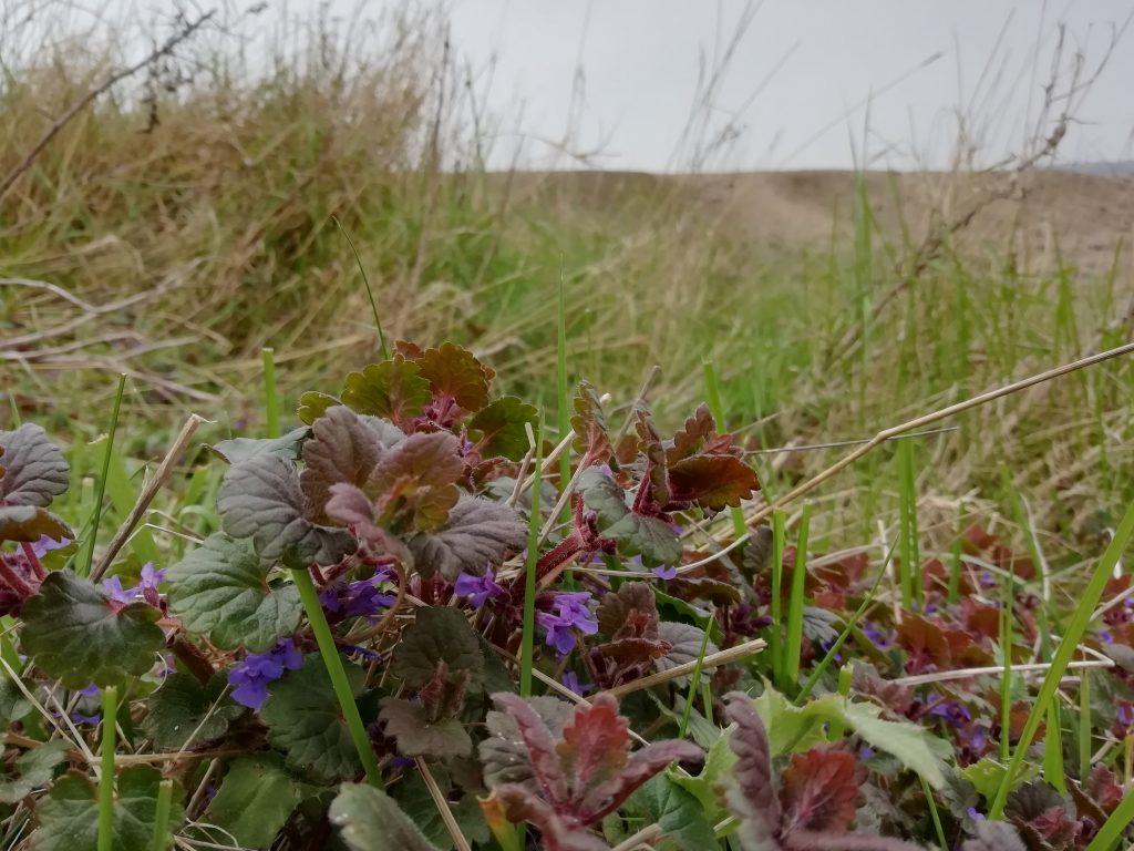 ground ivy cuckmere haven