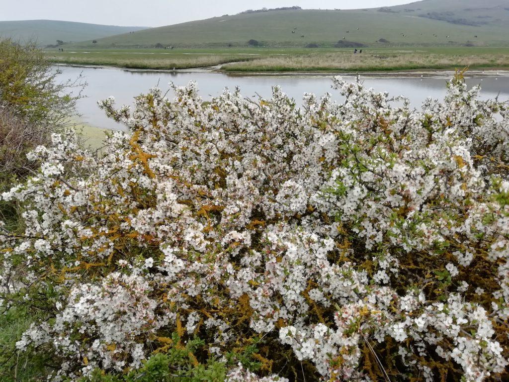 blackthorn river cuckmere