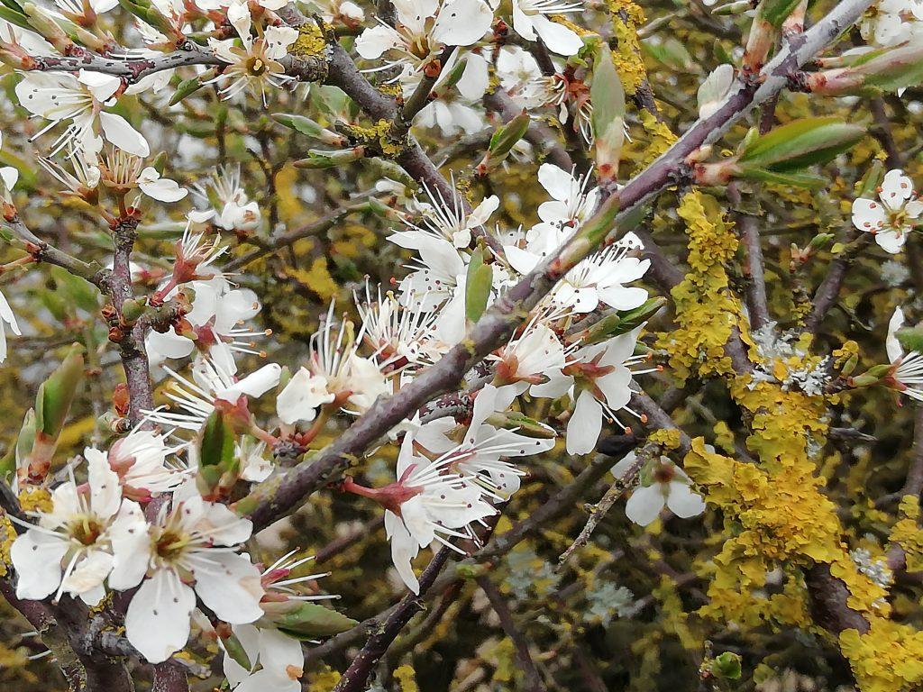 blackthorn flowers lichen