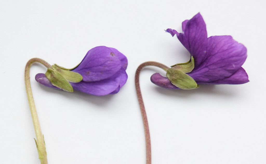 two violet viola flower buds