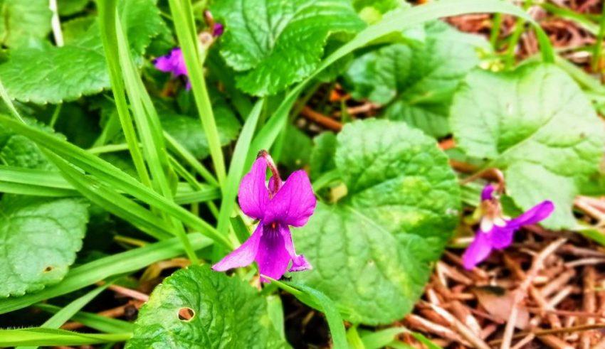 sweet violet flower
