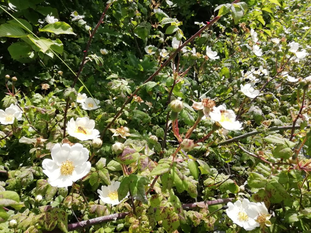 field rose rosa arvensis