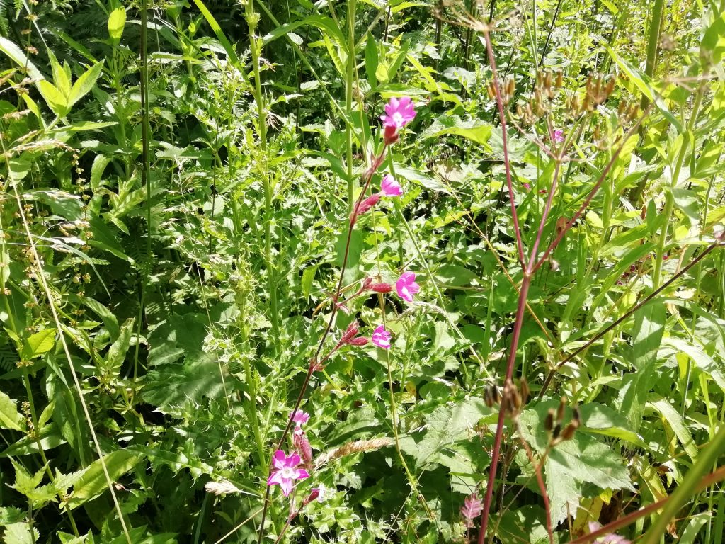 Red campion Silene dioica Clowes Wood