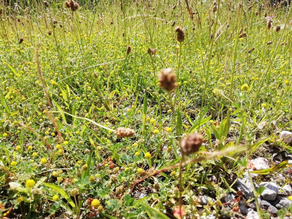 Trefoil Trifolium crab winkle