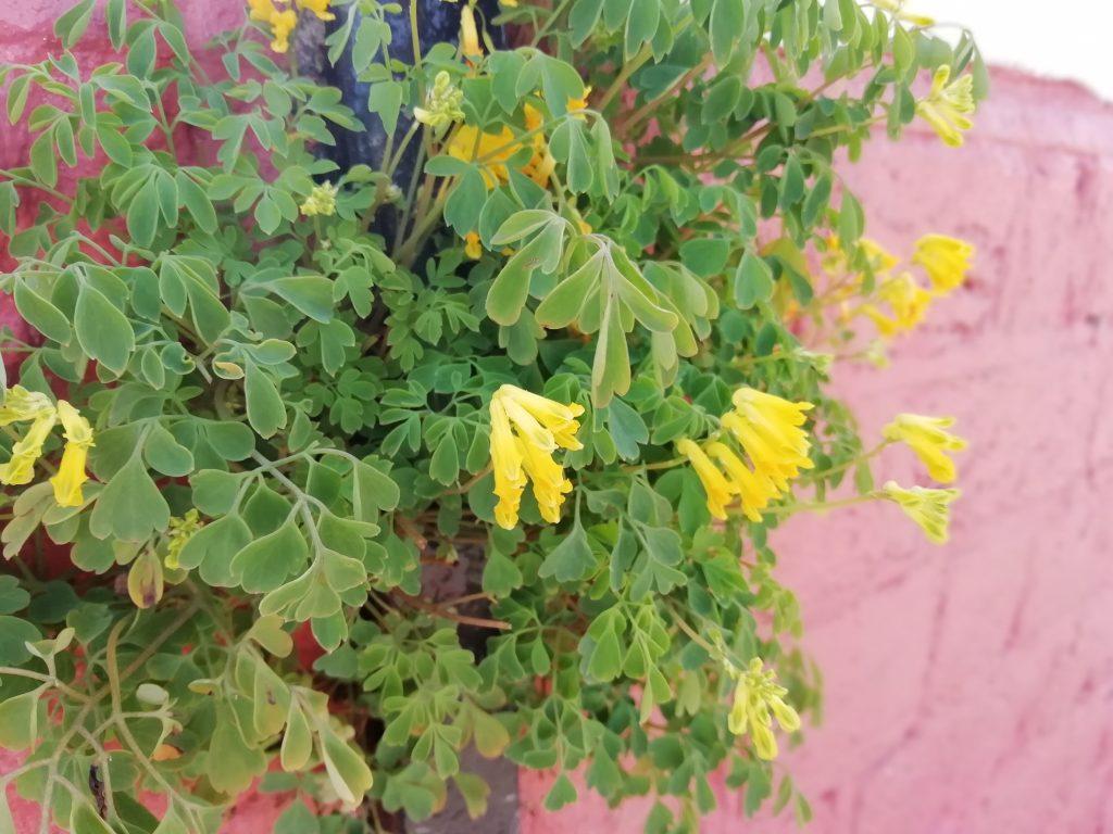 Yellow corydalis Pseudofumaria lutea