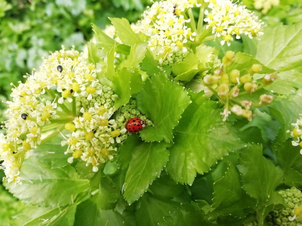 alexanders Smyrnium olusatrum ladybird