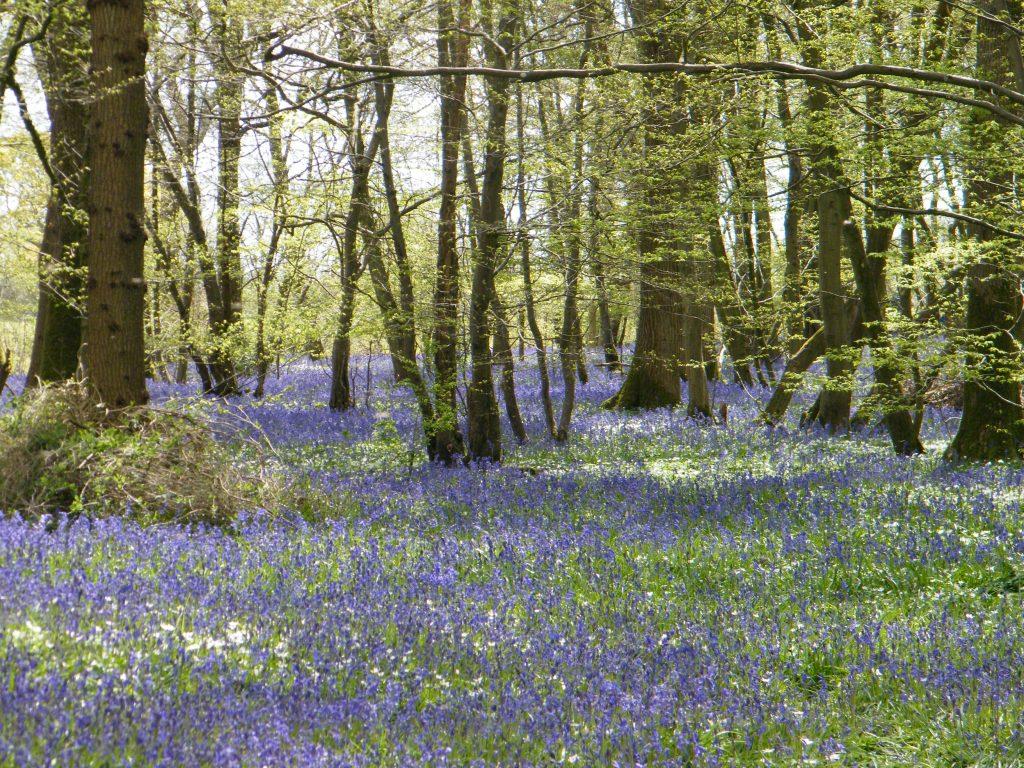 bluebell woods arlington
