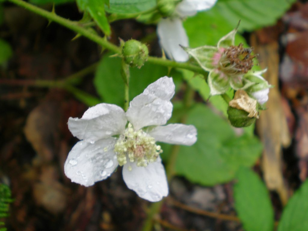 bramble rubus wildflower