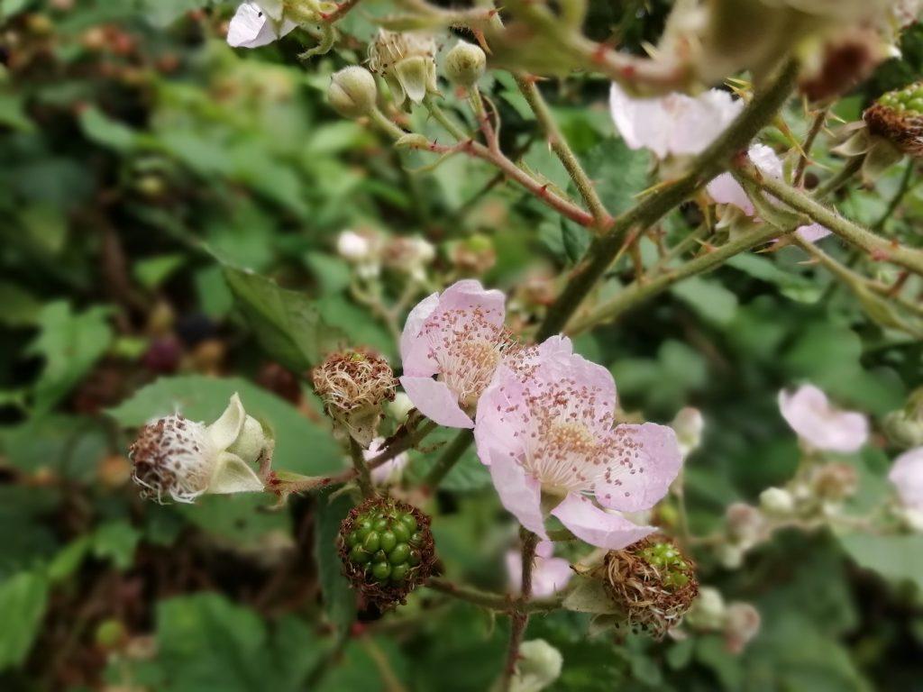 Rubus fruticosus wildflower