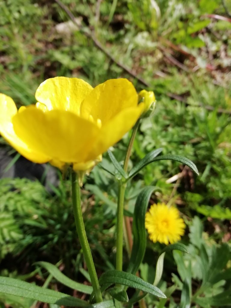 bulbous buttercup seaford
