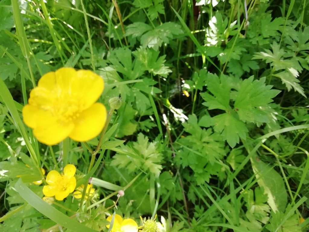 Creeping buttercup Ranunculus repens kent