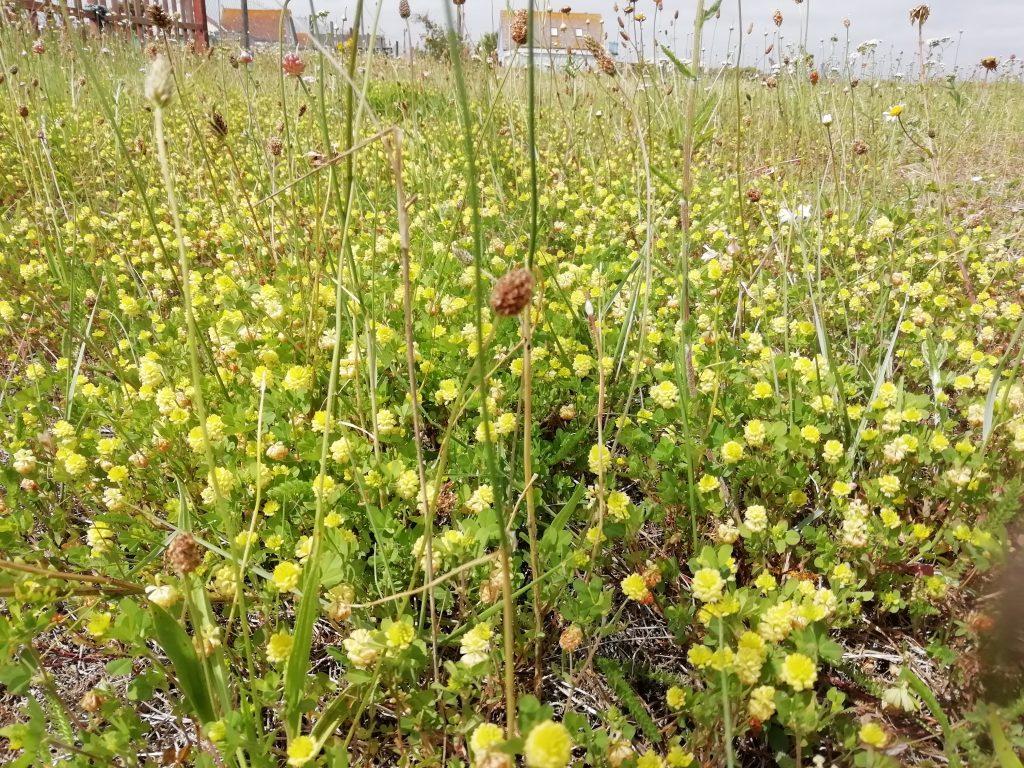 Trefoil Trifolium