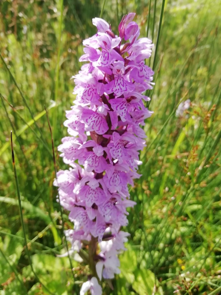 Marsh spotted orchid Dactylorhiza