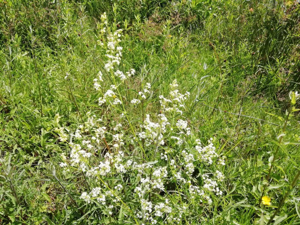 Meadowsweet Fillipendua ulmaria